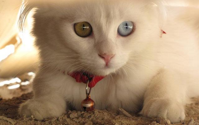 Belos animais com olhos de cores diferentes