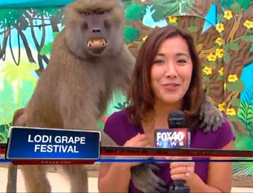 Babuíno agarra repórter ao vivo