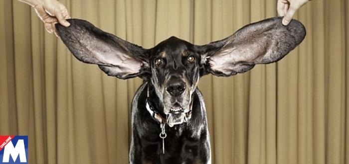 Cachorro-Dumbo
