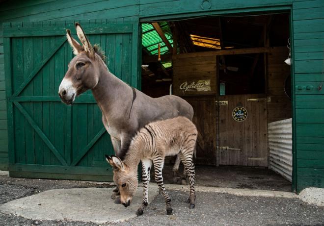 Nasce filhote do cruzamento entre zebra e jumenta