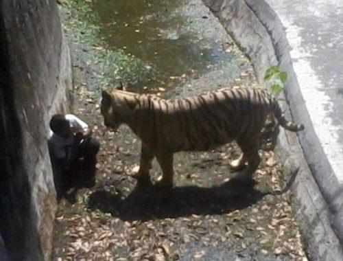 tigre mata estudante