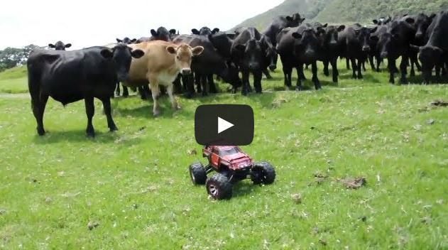 Tocando o gado com carrinho de controle remoto